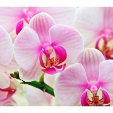 Zapach aromat do mydełek ORCHIDEA 10ML