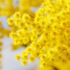 Zapach aromat do mydełek MIMOZA 10ML