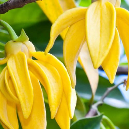 Olejek eteryczny naturalny ylang-ylang, 100ml