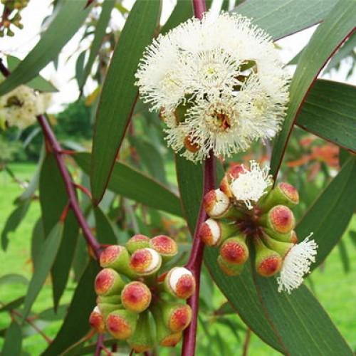 Olejek eteryczny naturalny eukaliptusowy, 100ml