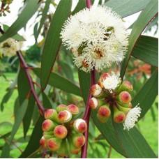 Olejek eteryczny eukaliptusowy, 10ml