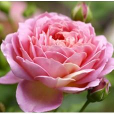 Olejek eteryczny różany, 100ml